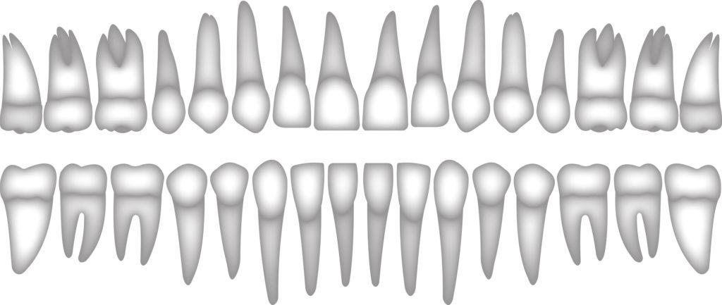 כל השיניים בפה והשורשים שלהם