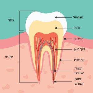 מבנה השן